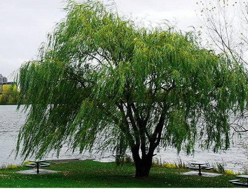 cây liễu không nên trồng trong vườn