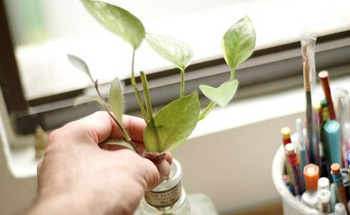 Nếu không có thời gian chăm sóc hãy lựa chọn những loại cây dễ trồng và có sức sinh trưởng tốt. Chẳng hạn những loại cây thường xanh như phát lộc, trầu bà...chỉ cần thay nước là đủ