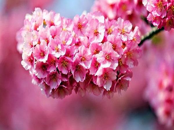 nằm mơ thấy hoa anh đào