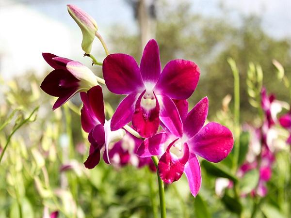 Mơ thấy hoa lan rụng đánh con gì?