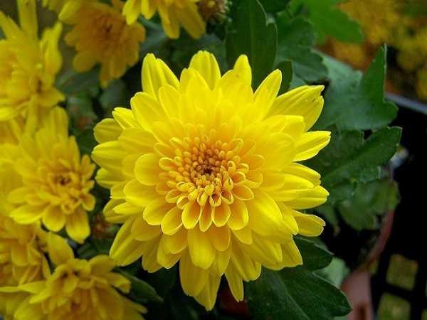 Mơ thấy hoa cúc điềm báo lành hay dữ?